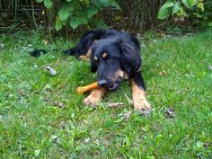 dog plays   oz_design  young hovawart Plays, Stock Photos, Dogs, Pictures, Animals, Image, Design, Games, Photos
