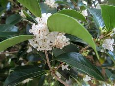 Fortune's Osmanthus -  · Large shrub or small tree; · Evergreen; · Blooms in the fall