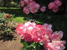 Rose blossom in Royal Annapolis Royal Botanical Garden, Nova Scotia