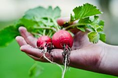 If you're new to organic gardening, try planting radishes. Not only do they seem to respond well to organic treatment, they're among the fastest-growing of garden vegetables. Radishes a… Root Vegetables, Growing Vegetables, Healthy Vegetables, Healthy Fruits, Winter Vegetables, Organic Vegetables, Gardening For Beginners, Gardening Tips, Gardening Websites