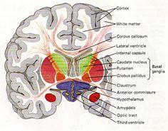 Neuroanatomy from Tumblr TheCheerfulMedic