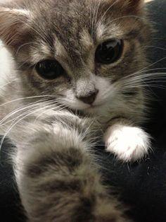 Louis Cat | Pawshake chiswick