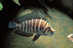 Have you ever tried keeping Altolamprologus cichlids? They have a unique body shape, are easy to care for, and can even be put into a community situation!