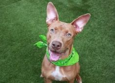 TO BE DESTROYED 04/20/17 A volunteer writes: Nothing scary or cold-blooded about this Gator. Quite the opposite! This goofy guy will get everyone giggling with his gleeful grin and gawky gams galore. 1 year-old Gator is just 59 pounds but most of that has to be carried in his ears. Perched on his head like two regal statues, Gator's listeners are tall enough to brush against the sky (and he probably just heard me type that). At first glance, Gator is all about fun. As we head ou...