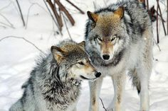 Old myths and legends: Among the Cherokee there was a belief that to kill a wolf was to invite retribution from other wolves. Many tribes felt that killing a wolf would cause game to disappear. And there was a widespread belief that a weapon that had killed a wolf would never work right again. --Barry Lopez