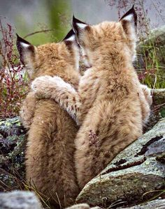 Lynx babies <3