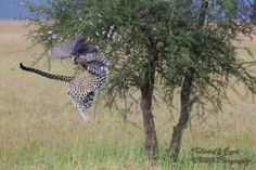The flying leopard