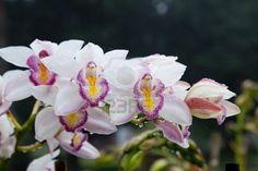 Orquideas Colombianas Imagenes   mas fotos de orquideas orquideas orquideas colombianas orquideas ...