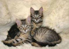 Google Image Result for http://4.bp.blogspot.com/-UOlilFZD_UE/TjQ-z1yBoXI/AAAAAAAAAd4/I9r_FFIA4Pw/s1600/two-tabby-cats%255B1%255D.jpg