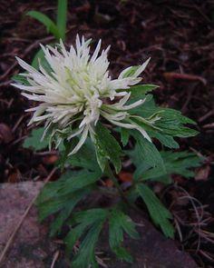 Anemone sylvestris 'Polish Star'