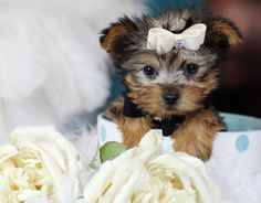 ♥♥♥ Teacup Yorkie! ♥♥♥ Bring This Perfect Baby Home Today! Call 954-353-7864 www.TeacupPuppies... ♥ ♥ ♥ TeacupPuppiesStore - Teacup Puppies Store Tea Cup
