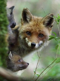 FOX © David Huerta #huerta