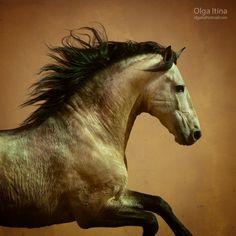 Herez - Olga5. Horse, hest, animal, beauty, movement, beautiful, gorgeous. photo