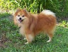 Wolfie is an adopted Pomeranian Dog in Wilmington, NC. Wolfie is a wonderful, orange male pomerian. He is 9 years old, and was dumped in a kill shelter by his family. He is neutered, current on vaccin...