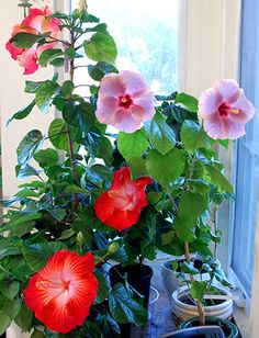 Wintering Tropical Hibiscus
