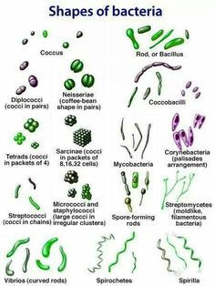 Shapes of bacteria (cocci, rod, spiral) microbiology Ap Biology, Science Biology, Teaching Biology, Life Science, Forensic Science, Computer Science, Bacteria Shapes, Medicine Notes, Medicine Student