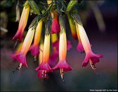 flor nacional de bolivia - Buscar con Google