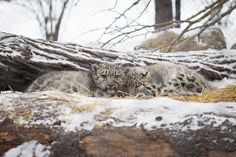 Snow Leopard Cubs at Assiniboine Park Zoo in Winnipeg, Manitoba. Photo by Salvador Maniquiz. Urban Park, The Province, Snow Leopard, Salvador, Cubs, Wilderness, Animal Pictures, Pond, Parks