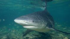HQ Definition Wallpaper Desktop bull shark