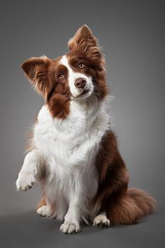 "Passionate about border collies! This collies color is amazing, love it!  ""Dash II"" by Wordup on deviantart.com"