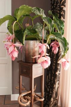 Medinilla Magnifica/Philippine Orchid – Start A Easy Flower Backyard Garden Project - Homemade Ideas (20)