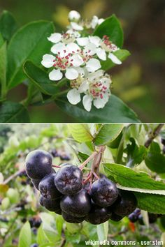 Aronia melanocarpa, black chokeberry bush; berries have highest concentration of antioxidants of any fruit. This native shrub is also good looking in the garden!