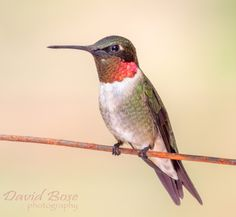 Ruby-Throated Hummingbird 2 by David Bose on 500px