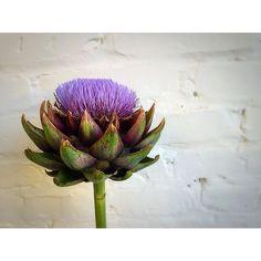 Artichoke August Flowers, Artichoke, Farmer, Frost, Instagram Posts