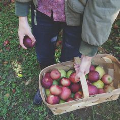 apple picking in the orchard.