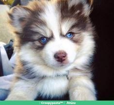I heard you all like Pomsky puppies, so let's break the Internet together… Pomsky pup with blue eyes Puppies With Blue Eyes, Cute Dogs And Puppies, Pet Dogs, Doggies, Puppies Tips, Dogs Pitbull, Lab Puppies, Weiner Dogs, Pomeranian Husky