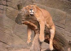 Der Löwe – lustiger König