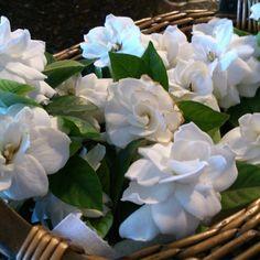 #gardenias