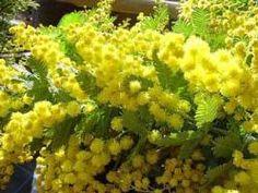 Acacia Baileyana, Le Mimosa, Yellow Flowers, Flora, Landscape, Plants, Beautiful, Mimosas, Sunshine