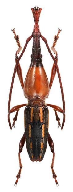 Eutrachelus SP. CURCULIONOIDEA family BRENTIDAE straight snounted weevils