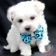 Maltese puppy - Bentley