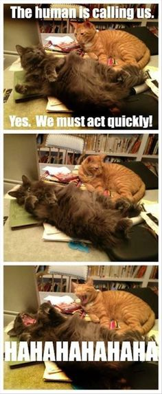 Cats Have a Lazy Way of Being Sarcastic - LOLcats is the best place to find and submit funny cat memes and other silly cat materials to share with the world. We find the funny cats that make you LOL so that you don't have to. Funny Animal Memes, Cute Funny Animals, Funny Animal Pictures, Funny Cute, Cute Cats, Animal Captions, Funny Kitties, Funny Captions, Funny Pics
