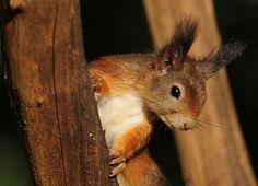 Gepind vanaf vroegevogels.vara.nl - Eekhoorn