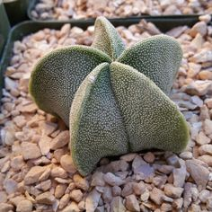 "Astrophytum Mirostigma This gorgeous plant is known for its vertical ribs along the side of rib. The name ""astrophytum"" means start plant, because of its start like shape. As the cactus ages the ribs"