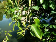 Plant Leaves, Fruit, Plants, The Fruit, Flora, Plant, Planting