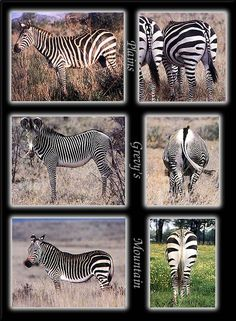 Three Zebra species, showing differences - from Phoenix Rising Jungle Book;  top - Plains;  middle - Grevy's;  bottom - Mountain;  Plains and Mountain zebras are very similar, but Mountain zebras have a dewlap on their necks.