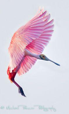 pink spoonbill bird