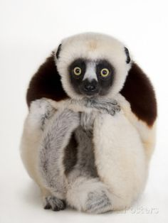 A Coquerel's Sifaka, Propithecus Coquereli, at the Houston Zoo