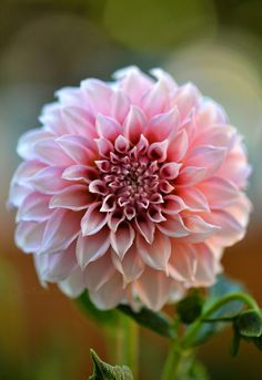 "~~Peaches 'n' Cream Dahlia | starting to bloom in our Colorado garden, summer 2015. Decorative form, warm golden pink-orange and cream-colored  petals that flow back toward the stem. Flowers are 2 to 4"", grows to a height of 4-1/2 feet 