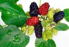 DRINKFACTORY: Flavour of the Week - Mulberries (Tut)