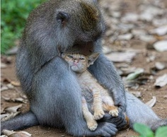 Monkey adopts abandoned kitten in Indonesia.
