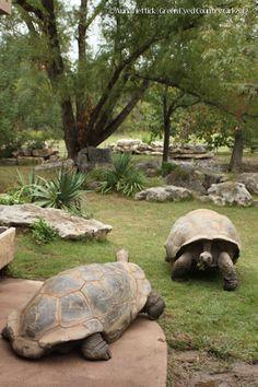 Tulsa Zoo Tortoise | Bill Knight Lincoln Volvo |   4111 S Memorial Dr | Tulsa, OK 74145 | (918) 526-2500 |http://billknightlincoln.com