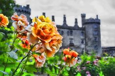 Irish Rose Photo:  This Photo was uploaded by Ruled_by_Neptune. Find other Irish Rose pictures and photos or upload your own with Photobucket free image ...