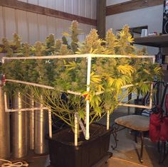 Grow Guide: How to SCROG Like a Pro http://www.marijuana.com/blog/news/2016/08/grow-guide-how-to-scrog-like-a-pro/ … via @weedmaps @alliebee420 #scrog #lst #scrogger