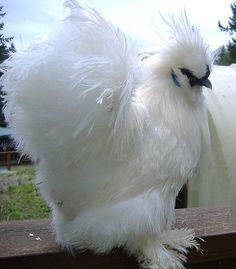 Beautiful young white silkie Hen:
