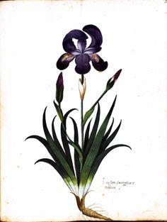 botany illustration - Bing Images